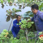 Nông dân Đô Lương làm giàu từ chuối mật mốc