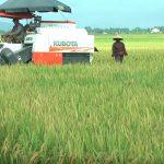 Đô Lương khẩn trương thu hoạch lúa hè thu chín sớm