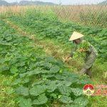 Nông dân Đô Lương thu hoạch cây vụ đông