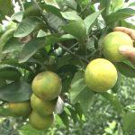 Xóm Thống Nhất xã Đông Sơn trồng cam cho thu nhập cao