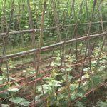 Xã Thuận Sơn Đô Lương đa dạng cây trồng vụ Đông đem lại hiệu quả cao