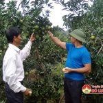 Xóm Thống Nhất trồng Cam cho thu nhập cao