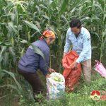 Thuận Sơn- Xây dựng mô hình cây ngô ngọt