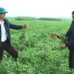 Trù Sơn phát huy hiệu quả cây lạc vụ đông trên đất 2 lúa