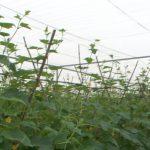 Đô Lương xây dựng mô hình trồng rau sạch trong nhà lưới