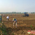 Đô Lương: Gieo trỉa gần 770 ha ngô vụ xuân trên đất bãi