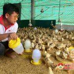 Đô Lương: Tái đàn gà, sẵn sàng nguồn gà phục vụ rằm tháng giêng