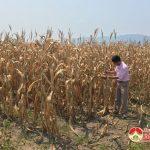 Đô Lương: Hàng trăm ha cây trồng bị chết do nắng nóng