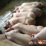 Đô Lương: Cả 3 đàn lợn bị ốm ở xã Minh Sơn, Xuân Sơn, Tiểu đoàn 17 âm tính với dịch tả lợn Châu Phi