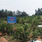 Đô Lương phát triển diện tích trồng cây chanh không hạt