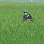 Đô Lương: Chủ động phòng, trừ bệnh đạo ôn cổ bông hại lúa xuân