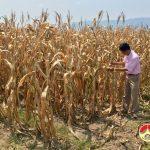 Nắng nóng, cây trồng ở Đô Lương khô héo tăng lên 1700ha