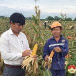 Đô Lương tập trung thu  hoạch 750 ha ngô bãi