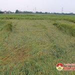 Đô Lương trên 350 ha lúa chín bị gãy đổ.