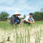 Đô Lương: nhiều diện tích lúa Hè thu bị hạn hán