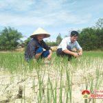 Đô Lương: Nắng hạn ảnh hưởng đến 560 ha diện tích lúa Hè thu