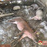 Đô Lương: Tái xuất hiện thêm 2 ổ dịch tả lợn Châu Phi tại xã Đà Sơn và Minh Sơn.