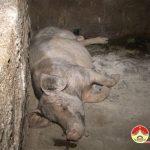 Đô Lương: Xuất hiện ổ dịch tả lợn châu Phi ở xã Thượng Sơn