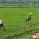Nông dân Đô Lương: Tập trung tỉa dặm lúa hè thu đảm bảo mật độ