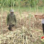 Người dân xã Giang Sơn Đông- Đô Lương được mùa mía