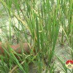 Hạn hán khốc liệt ở Đô Lương