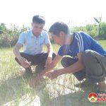 Hàng trăm ha lúa xã Giang Sơn cháy héo vì nắng nóng