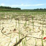 Đô Lương: 400 ha lúa bị khô cháy do nắng nóng, 420 ha đất lúa không thể gieo cấy.