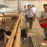 Mô hình nuôi dê nhốt chuồng của anh Nguyễn Đức Lệ ở xã Mỹ Sơn