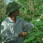 Nông dân Đô Lương: Tâp trung chăm sóc cây trồng vụ Đông sau mưa bão