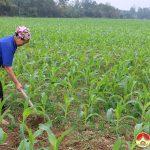 Bà con nông dân Đô Lương tập trung chăm sóc gần 700ha ngô trên đất bãi.