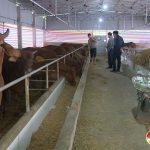 Đô Lương Tập trung phòng chống đói, rét cho đàn trâu bò