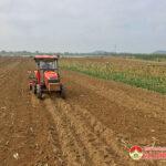 Bà con nông dân Đô Lương thu hoạch ngô bãi vụ đông xuân và làm đất gieo trồng ngô vụ hè thu.