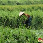 Đô Lương hàng trăm ha lúa trổ bông bị gãy đổ do mưa và gió lớn.