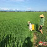 Xuất hiện bệnh khô vằn, rầy, nhện gié trên lúa hè thu ở Đô Lương