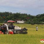 Đô Lương khẩn trương thu hoạch lúa hè thu để né tránh bão Conson